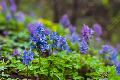 Beautiful blue flowers of poisonous aconite on a forest slope Wallpaper Mural