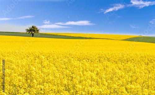 Poster Orange Farben des Frühlings: gelb und blau, Rapsfeld unter blauem Himmel :)
