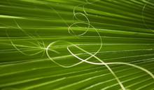 Fan Palm Tree Leaf