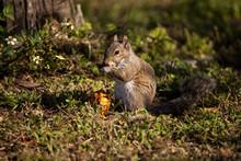 Brown Little Shermans Fox Squi...