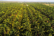 Oil Palm Plantation Field Background With Mountain