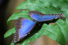 Blue Morpho Peleides Exotic Bu...