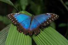Blue Morpho Peleides Exotic Butterfly Sitting On A Green Leaf