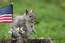 A Patriotic Gray Squirrel (Sci...