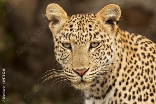 Poster Leopard Leopard Poses in Grassland