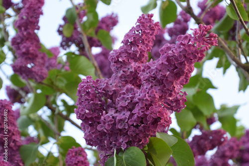 Foto op Canvas Lilac blooming purple lilac (syringa vulgaris) in spring