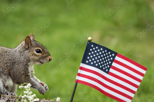 Tuinposter Eekhoorn A patriotic gray squirrel (Sciurus carolinensis) stands near American Flag and smiles