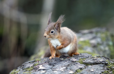 Naklejka na ściany i meble Red Squirrel on a log in a forest looking around for food and eating nuts