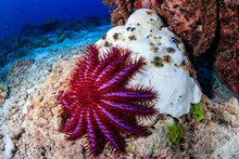 A Crown Of Thorns Starfish Feeds On A Bleached, Dead Hard Coral On A Tropical Reef.