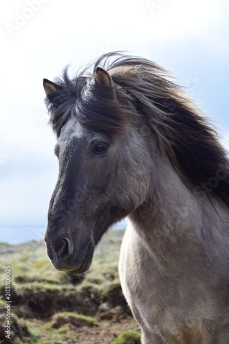 Fototapeta Portrait of an Icelandic horse, blue dun obraz na płótnie