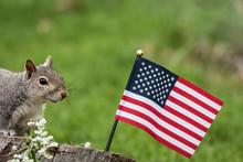 A Patriotic Gray Squirrel (Sci...