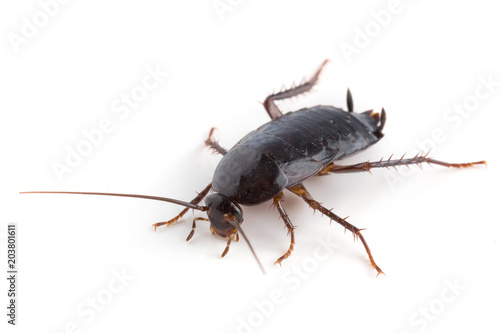 Eastern cockroach isolated