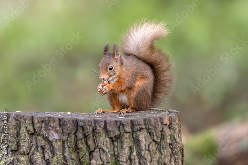 Foto op Canvas Eekhoorn Red Squirrel on a tree stump in woodland