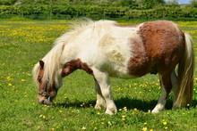 Shetland Pony, U.K. Small Hor...