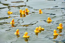 Yellow Rubber Ducks In A Duck Race Floating On A Lake Water
