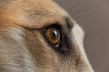 Greyhound Eye