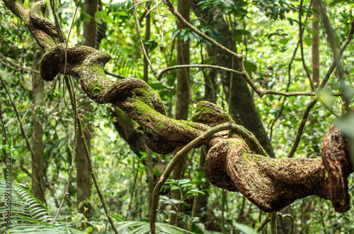 Valokuva  liana in rainforest Sinharaja, Sri Lanka