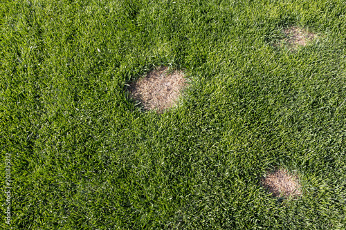 Fototapeta Lawn has suffered damage from a disease or pet