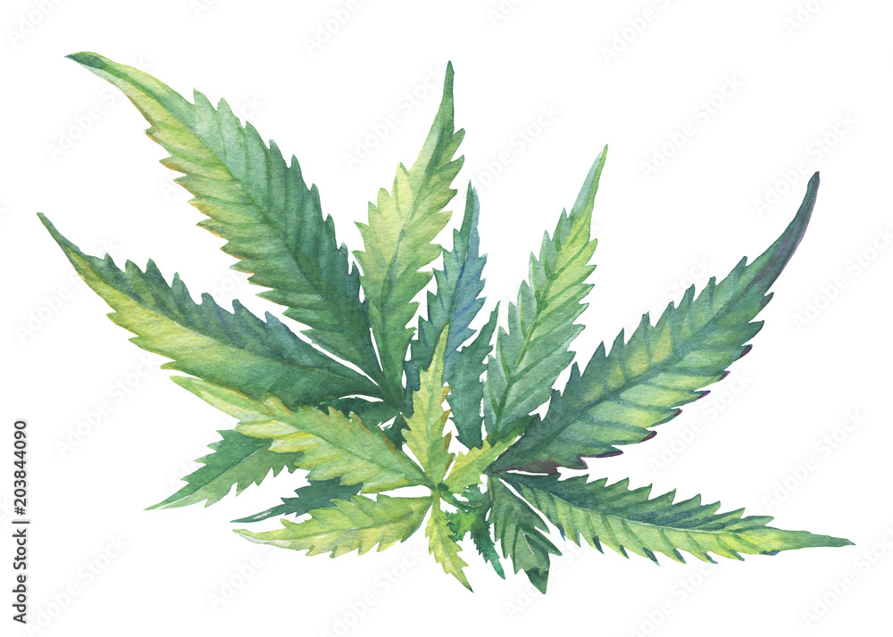 Fototapety, obrazy: A green branch of Cannabis sativa (Cannabis indica, Marijuana) medicinal plant with leaves. Watercolor hand drawn painting illustration isolated on a white background.