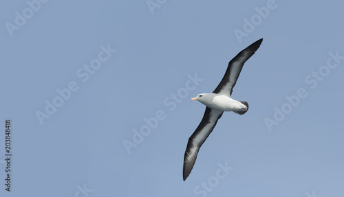 Pinturas sobre lienzo  Black-browed Albatross, Scotia Sea, Antarctic