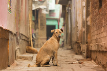 A Cute Brown Dog Is Posing In Front Of The Camera In One Of The Many Colorful Alley Of Varanasi, India.