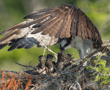 Osprey Family In Florida