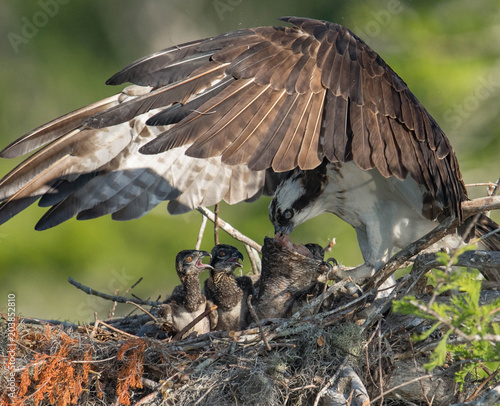 Osprey Family in Florida Wall mural