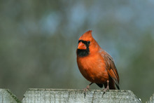 Male Cardinal Perched On Wood Privacy Fence