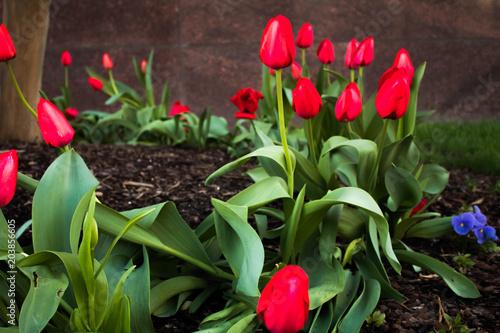 Fotografie, Obraz  red tulips closeup in spring