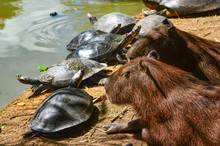 Capybara And Turtles Relaxing ...