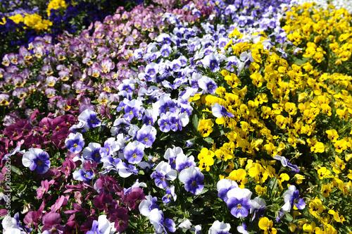 Foto op Canvas Pansies パンジーの花