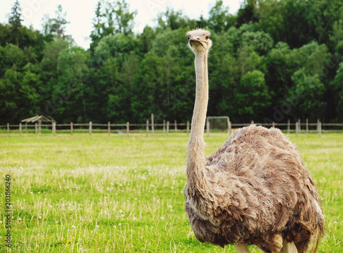 In de dag Struisvogel ostrich on grass, summer time