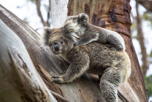 Wild Koala Seen Along The Way ...
