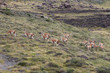 Field of Guanacos Torres del Paine