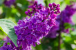 Inflorescence of the purple lilac at selective focus