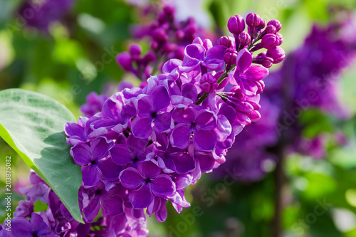 Foto op Canvas Lilac Inflorescence of the purple lilac at selective focus