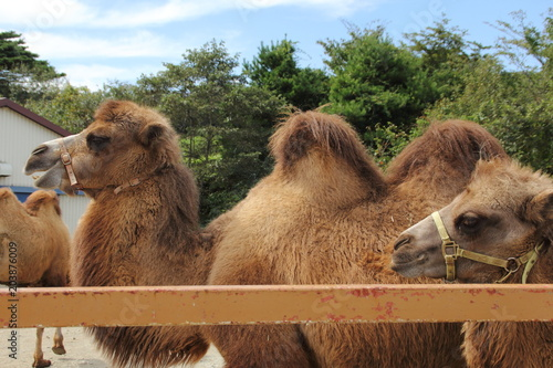 Foto op Canvas Kameel Camels | Camelid camelida | Animals (Photography)