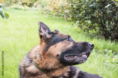 Tuinposter Panter Dog German Shepherd outdoors in a summer