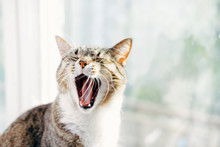 Cat Yawns Close-up