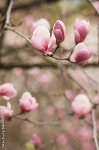 Tuinposter Magnolia Blooming Magnolia tree with tulip-shaped flowers