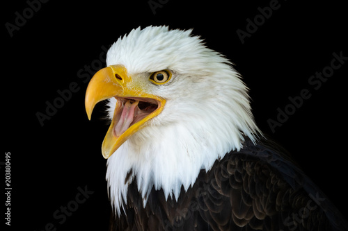 Portrait of a bald eagle (Haliaeetus leucocephalus) with an open beak isolated on black background