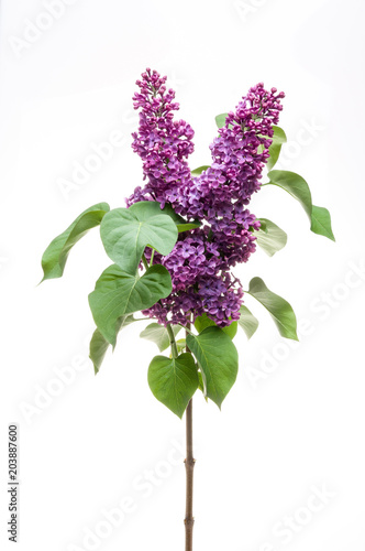Staande foto Lilac Lilac flower isolated on white