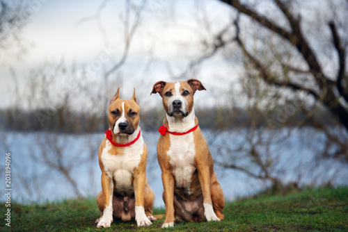 Obraz two staffordshire terrier dogs posing together outdoors - fototapety do salonu