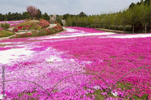 Foto op Canvas Roze 大村市松本つつじ園の芝桜