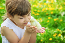 The Child Holds A Chicken In H...