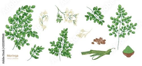 Foto  Collection of elegant detailed botanical drawings of Moringa oleifera leaves, flowers, seeds, fruits