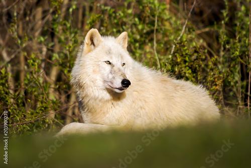 Fotografie, Obraz  Relaxing wolf