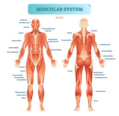 FototapetaMale muscular system, full anatomical body diagram with muscle scheme, vector illustration educational poster.
