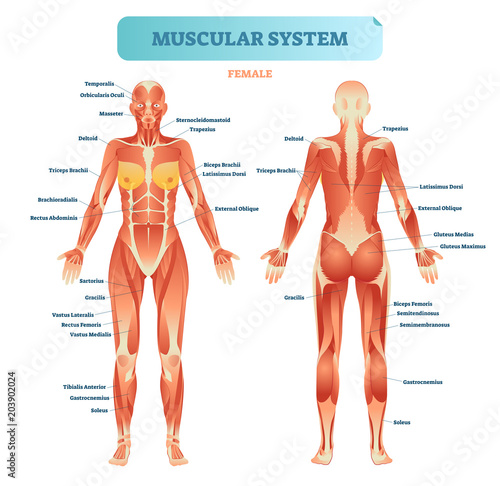 Male muscular system, full anatomical body diagram with muscle scheme, vector illustration educational poster Canvas-taulu