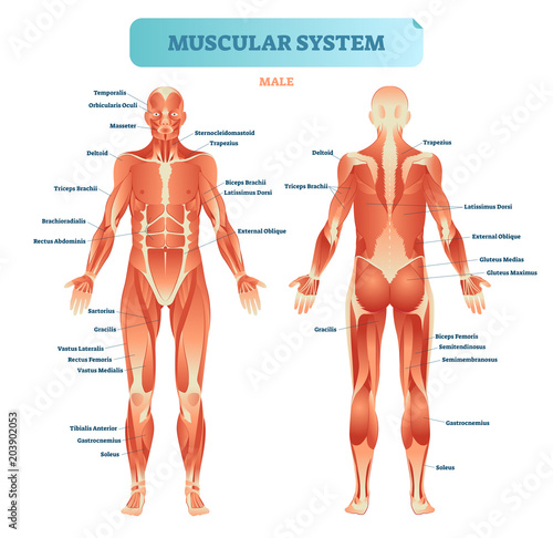 Cuadros en Lienzo Male muscular system, full anatomical body diagram with muscle scheme, vector illustration educational poster
